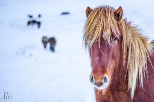 Equus Scandinavus